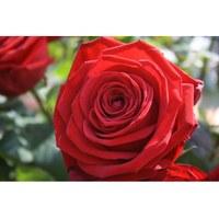 Dia de Sant Jordi - Venda de llibres i roses