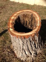 Actuació en els arbres malalts dels terrenys de l'antic càmping Bahía
