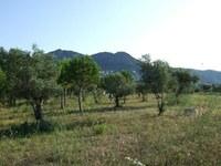 L'Ajuntament de Roses ofereix als veïns del municipi la collita de les oliveres municipals