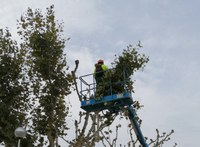 S'inicia la poda d'un miler d'arbres a Roses
